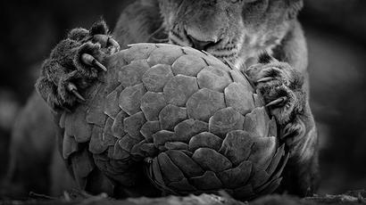 Interpol issues red corner notice against MP's pangolin poacher
