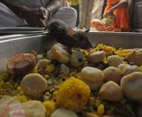 This Indian temple worships rats and feeds them sugar