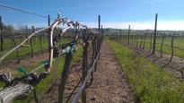 Warm Weather Awakens California Vineyards