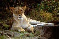 A Major Step Forward For Lion Conservation In Africa