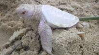 Albino turtle found on Australia beach