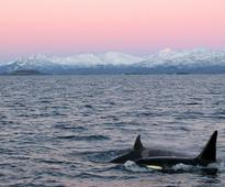 Mark Simmonds OBE:  Profound Threat To Orcas And Other Marine Wildlife Returns!