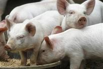 Outbreak of deadly piglet virus spreads to 13 states