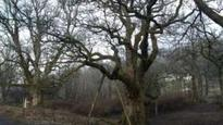 Work planned to save 'Macbeth trees'