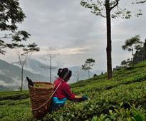South tea exporters to double volumes to Malaysia, Indonesia