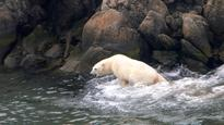 Inuit applaud U.S. decision not to push polar bear trade restrictions