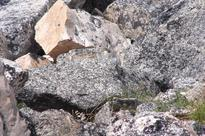 Pika-boo: Climate change threatens remote habitat of tiny rabbit relative