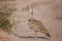 Pakistan villagers attack convoy of Qatar royals hunting rare bird