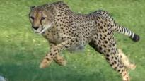 Sarah, the world's fastest land mammal, dies in Ohio zoo at age 15