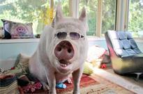 Esther the wonder pig hogs spotlight on internet