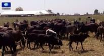 Gaidam Launches Annual Animal Vaccination Exercise In Yobe