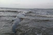 After An 8 Hour Rescue Operation, 47-Foot-Long Blue Whale Rescued In Maharashtra's Ratnagiri