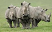 9 Poachers Arrested For Killing Rhino In Kaziranga National Park