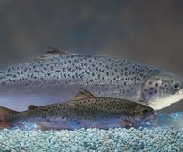 GM salmon approved by Health Canada