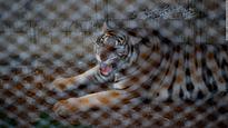 'Mayhem' as authorities try to capture 137 tigers at Thai temple