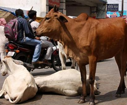 How Indians worship, yet neglect, the cow