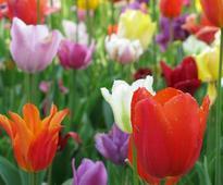 Gardening with Diarmuid Gavin: Tulip fever