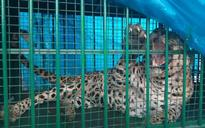 'Man-eater' leopard, which mauled 6 last week, nabbed from Jaipur