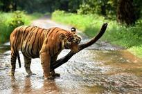 Indore jump-happy tigress headed for Van Vihar?