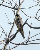 Birders Catch Rare Eurasian Hobby at Okhla Bird Sanctuary