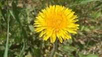 9 facts you may not have known about dandelions