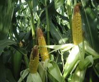 IL: Tip-back and the 2016 corn crop