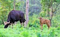 Bison population increases in Tripura