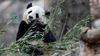 Bittersweet farewell: US-born giant panda Bao Bao gets special send-off