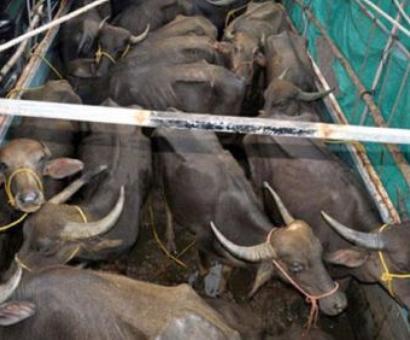 Delhi: 6 men thrashed for transporting buffaloes