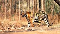 State to begin camera trapping of tigers