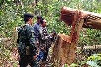 Loggers fell 168 trees in Songkhla forest