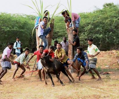 Cruelty is inherent in Jallikattu: PETA