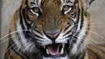 Caretaker killed by tiger