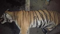 Tiger from Bor tiger reserve killed in road accident