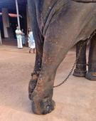 Wounded elephant, carrying idol, struggles to walk at Thriprayar temple festival