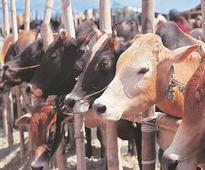 BJP to organise 24-hr cow protection yagna on February 2 in Bengaluru
