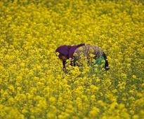 Government panel clears GM mustard but hurdles remain, sources say