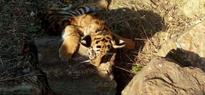 4 tiger cubs found dead in Maharashtra, Government orders probe