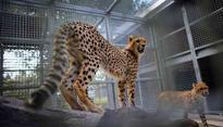 Cheetahs often don't thrive in captivity. We set out to find out why