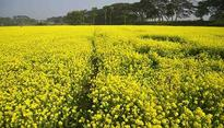 'Farmers will commit suicide': West Bengal writes to Centre opposing GM mustard