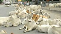 Alwar: District administration returns 51 bovines to Muslim family who are 'rightful owners'