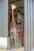You now have a chance to name the new baby giraffe born in Fota