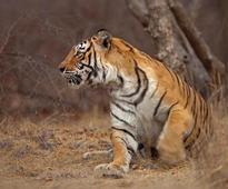 T28, T85 hurt in territorial battle at Ranthambore