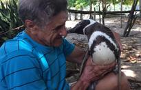 Penguin swims for days each year to visit the man who rescued him
