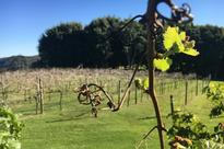 The microbes are being sprayed onto Tony Thompson's vineyard near Stanthorpe.