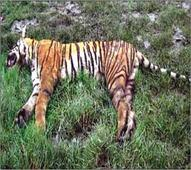 Tigress found dead in Bandhavgarh Reserve