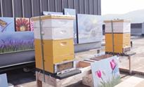Buzzed About Bees at Renaissance Asheville Hotel July 01, 2016In June of 2016 Renaissance Hotels celebrates the success of their rooftop bees. One year and two hives later, Renaissance Asheville Hotel's urban beekeeping project is thriving.