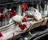 To Curb Bird Flu, Nigerian State Culls 9,000 Birds