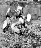 Flamingos find a home at Nelapattu