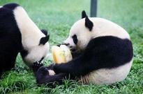 Panda twins born in China's Sichuan Province